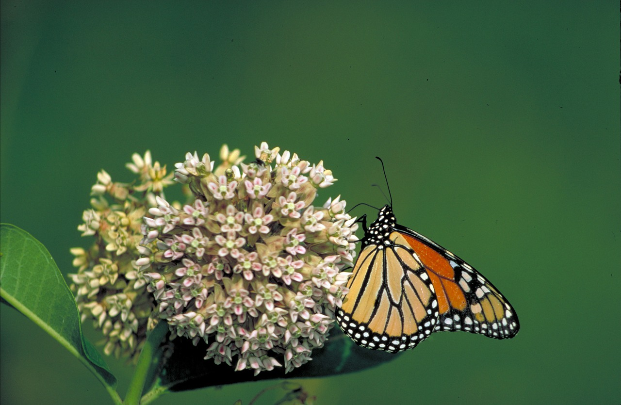 monarch-butterfly-569432_1280